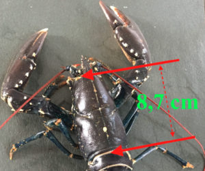 Taille du homard